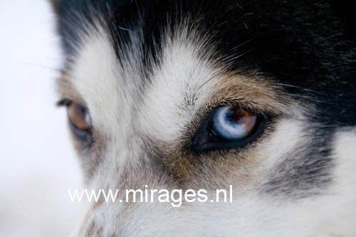 Portrait of a sled dog (husky) with two-toned eyes, both brown and blue. Dalarna, Sweden. Focus on the eye.